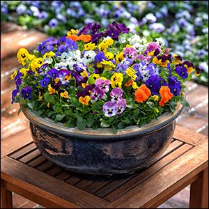 Sorbet Autumn Select Mix Viola via http://photolibrary.ballhort.com:8085/pasapprovedimages/api/v1/asset/319358/preview [Fair Use]
