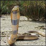 Oxus Cobra