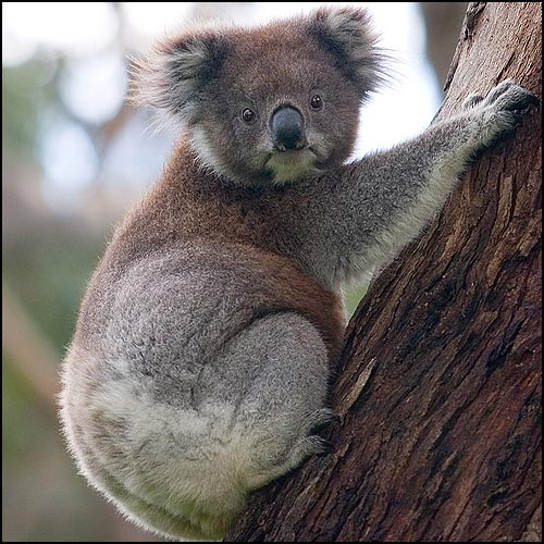 Koala Climbing Tree by David Iliff http://commons.wikimedia.org/wiki/File:Koala_climbing_tree.jpg (CC BY-SA 3.0)